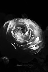 Ranunculo (Lissa ) Tags: flower macro blackwhite petals monocromtico fondonegro