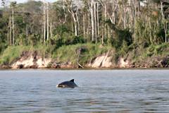 Dolphin Greeting _0253 (hkoons) Tags: peru latinamerica southamerica america libertad amazon rainforest warm dolphin country spanish jungle dolphins tropical tropics itaya humid amazonas peruvian freshwater nanay amazonrainforest amazonbasin freshwaterdolphins sevennaturalwondersoftheworld loretoregion