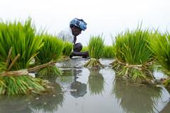 Transplanting (Raja. S) Tags: agriculture rajas paddyfield cwc transplanting chengalpet chennaiweekendclickers rajasubramaniyan rajasubramaniyanphotography cwc503b