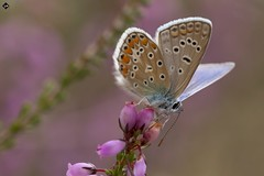 Blue argus (amandine_herrero) Tags: life wild france flower color macro eye love nature fleur colors animal fauna butterfly bug insect freedom flora europe colorfull wildlife free papillon libert extrieur couleur insecte flore invertebrate macrophotography faune aquitaine gironde macrophotographie invertebres