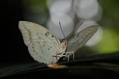 Marquis (Bassarona dunya) (moloch05) Tags: malaysia taman negara