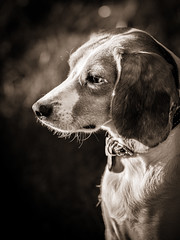 Yana_ (Cristina Laugero) Tags: dog chien beagle cane da compagnia animale