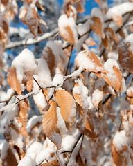 Fagus grandifolia (American Beech) (Plant Image Library) Tags: new winter england 6 plant tree nature ecology massachusetts arnold arboretum foliage american february shrub botany beech fagus grandifolia 20016 retained