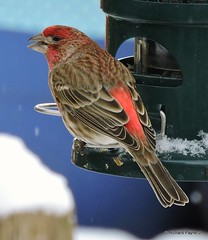 Male House Finch_N8839 (Henryr10) Tags: bird birdfeeder feeder finch housefinch avian haemorhousmexicanus