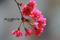 Taiwan Cherry&Bee (Whitefox Chen) Tags: sun sunlight flower tree canon cherry taiwan bee sakura taipei   zhonghe  canon70300mm