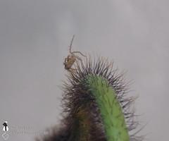 Araigne sur un coquelicot (Senalina) Tags: les de araigne coquelicot voleurs miettes saltique senalina
