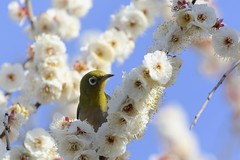 White Eye (joka2000) Tags: bird spring ume whiteeye japaneseapricot