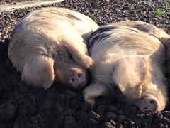 Snozing in the mud