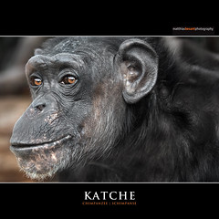 KATCHE (Matthias Besant) Tags: africa orange eye look animal animals mammal deutschland monkey tiere eyes looking african ape afrika monkeys pan chimpanzee augen mammals auge apes fell blick tier affen affe schimpanse chimpanzees pantroglodytes primat schauen catarrhini hominidae afrikanischer blicken primaten saeugetier saeugetiere afrikanisch afrikanisches oldworldmonkeys menschenaffen afrikanische oldworldmonkey hominoidea trockennasenaffe commonchimpanzee robustchimpanzee altweltaffen commonchimpanzees gemeinerschimpanse menschenartige altweltaffe affenfell menschenartig affenblick gemeineschimpansen gewoehnlicheschimpansen gewoehnlicherschimpanse matthiasbesant robustchimpanzees