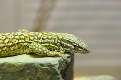 Ridgetail Monitor (chriswellner) Tags: reptilediscoverycenter varanusacanthurus ridgetailmonitor