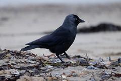 Beachcomber (pauldbrown) Tags: sea beach shore isleofwight sthelens iow beachcomber jackdaw