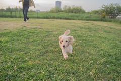 IMG_1116 (yukichinoko) Tags: dog dachshund 犬 kinako ダックスフント ダックスフンド きなこ