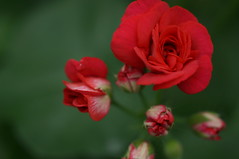 DSC03932 (oliveplum) Tags: red rose singapore bokeh sony marinabay flowerdome gardensbythebay leica60f28macro