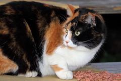 IMG_0292 (Bad Habits Lounge Studio) Tags: portrait green cali cat eyes princess kitty greeneyes calico