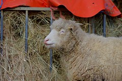 1217-26L (Lozarithm) Tags: sheep studley calne k50 55300 pentaxzoom hdpda55300mmf458edwr