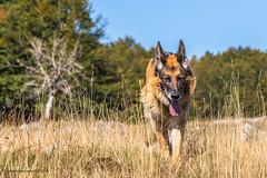lupo a spasso (maddalenasebellin) Tags: animali cani schach animalidomestici