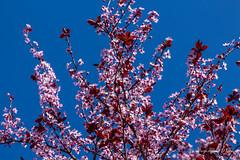 Springtime blooms (WarpFactorEnterprises) Tags: flowers cherry spring blossom heather rosemary bloom magnolia 2016