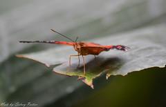 Vlinder (sidneyportier) Tags: butterfly 1500 iso1600 vlinder vlindertuin dierentuinemmen 240mm f53 nikon55300mm nikond3100