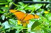 Butterfly Julia II (c) DSC_0723_edited-1 (John Dreyer) Tags: juliabutterfly