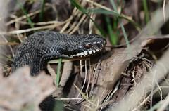 melanistic adder, Vipera berus (willjatkins) Tags: britain viper snakes britishwildlife adder blackadder vipera melanistic venomoussnake viperaberus londonwildlife britishsnakes britishreptiles londonsnakes londonreptiles melanisticadder macrowildlife britishreptilesandamphibians britishamphibiansandreptiles snakesofeurope
