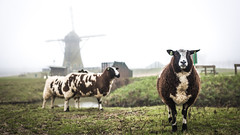 Sheeps and a windmill (DC P) Tags: holland classic nature netherlands windmill dutch animal animals landscape view sheep farm ngc farming farmland sheeps soe cliché bej fantasticnature