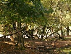 Camouflaged deer (Setsukoh) Tags: park france tree nature animal forest rouge zoo sainte frankreich stag deer hidden camouflage animaux wald lorraine arbre rhodes parc baum forêt hirsch mosel croix moselle cerf zoopark caché cervus animalier elaphus brochall lothringen zooparc élaphe