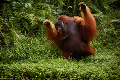 Orangutan (oeyvind) Tags: indonesia idn pongopygmaeus balikpapan kalimantantimur
