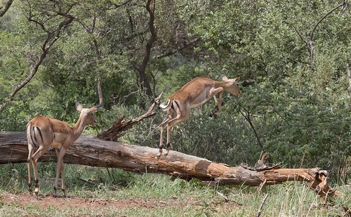 Impala taking the Leap, Black Rhino Private Reserve, NW Province_1984