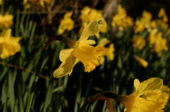 Daffs again (timbo on the hill) Tags: d7000 nikon dxo wales spring deevalley llangollen wrexham sun sunrise dawn daffodils flowers flower yellow 500px