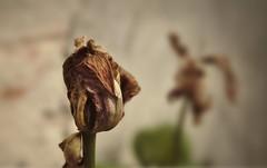 What I was (GP Camera) Tags: flower lightandshadows bokeh depthoffield textures wilted vignetting fiore deadflower monferrato lucieombre allaperto trame profonditdicampo softbackground appassito nikond80 tamronsp1750 fioremorto sfondosoffice