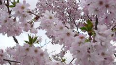 Pruniers en fleurs (jeanlouisallix) Tags: flowers trees france nature seine fleurs arbres rouen maritime normandie printemps haute prunus prunier