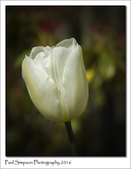 White Tulip Flower (Paul Simpson Photography) Tags: flowers flower nature photography whiteflower petals spring tulip naturephotography signsofspring springinengland photosof imageof flowerphotography whitetulip gardenphotography photoof springtimeinengland imagesof sonya77 paulsimpsonphotography april2016