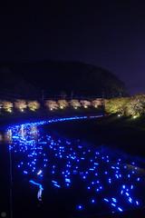 20160305-DSC_2269.jpg (d3_plus) Tags: street sea sky plant flower nature japan spring nikon scenery nightshot cloudy bloom  cherryblossom  sakura lightup nightview 28105mmf3545d nikkor    shizuoka    izu   28105   rapeblossom    28105mm  zoomlense  minamiizu    kawazuzakura    28105mmf3545 d700 281053545  nikond700 shimokamo aiafzoomnikkor28105mmf3545d nightcherryblossom 28105mmf3545af    southcherryblossomandrapeblossomfestival aiafnikkor28105mmf3545d shootingstarsandsakurainnight sakurainnight