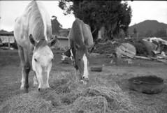 Nmades en espacios sedentarios (Felipe Crdenas-Tmara) Tags: horses outdoors country kodaktmax blackandwhitefilm fujigw690iii fujinon35f90mm