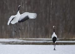 Japan (richard.mcmanus.) Tags: winter bird japan hokkaido wildlife cranes akan mcmanus courtship tsurui redcrownedcranes