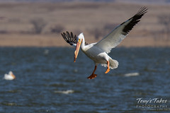 American White Pelican fishing sequence - 2 of 20