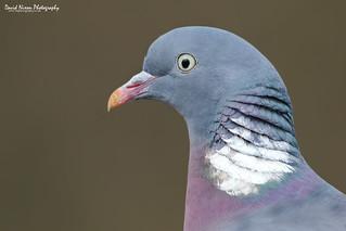 Wood Pigeon, Columba palumbus
