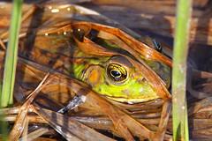 American toad camouflage (Daniel Taieb) Tags: ontario canada camouflage aurora americantoad