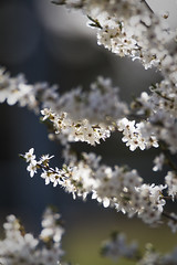 Little blossoms (A blond-Tess) Tags: light plants nature sunshine backlight spring flora blossom sweden bokeh 7d april backlit naturephotography treeblossom signsofspring shallowdof flowersplants canonphotography swedenapril tessaxelsson