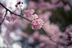 film (La fille renne) Tags: pink flowers film nature analog 35mm bokeh grain cherryblossom fujifilm expired canonae1program cherrytree expiredfilm 50mmf18 fujisuperia200 lafillerenne