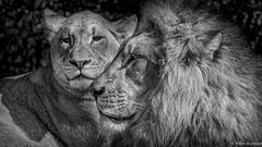 Family Strong (Robert Streithorst) Tags: lion cincinnatizoo simplysuperb zoosofnorthamerica robertstreithorst