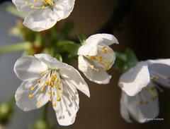 07-IMG_9591 (hemingwayfoto) Tags: blte baum kirschblte obstbaum kirschbaum blhen weis obstbaumblten