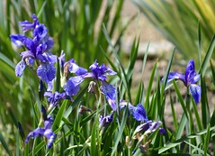 Iris (elenagalli) Tags: ferrara ortobotanico