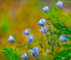 One in Focus. (Omygodtom) Tags: flower nature season outdoors nikon natural fuzzy bokeh scene wildflower selectivefocus d7100 nikon70300mmvrlens