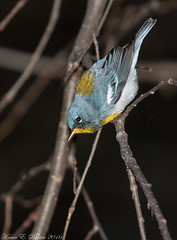 Northern Parula (view full screen) (BirdFancier01) Tags: blue bird nature yellow composition canon warbler songbird woodwarbler northernparula