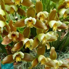 Panasonic FZ1000, Orchids, Botanical Gardens, Montral, 24 April 2016 (4) (proacguy1) Tags: orchids montral botanicalgardens panasonicfz1000 24april2016