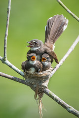 Pied Fantail (BP Chua) Tags: park wild bird nature animal singapore nest wildlife young chick pied fantail