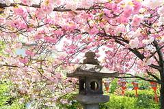 Spring (Teruhide Tomori) Tags: plant flower tree japan spring kyoto shrine  cherryblossom  japon
