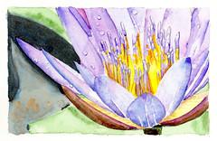 Lotus 2 (lwdphoto) Tags: flower watercolor hawaii lotus hana lance duffin lanceduffin
