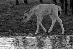 Wild Horses in black-and-white - Bathing - 2016-014_Web (berni.radke) Tags: horse pony bathing herd nordrheinwestfalen colt wildhorses foal fohlen croy herde dlmen feralhorses wildpferdebahn merfelderbruch merfeld przewalskipferd wildpferde dlmenerwildpferd equusferus dlmenerpferd dlmenpony herzogvoncroy wildhorsetrack